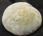 CLYPEUS WITH 'BITE' MARK - JURASSIC, FRANCE.